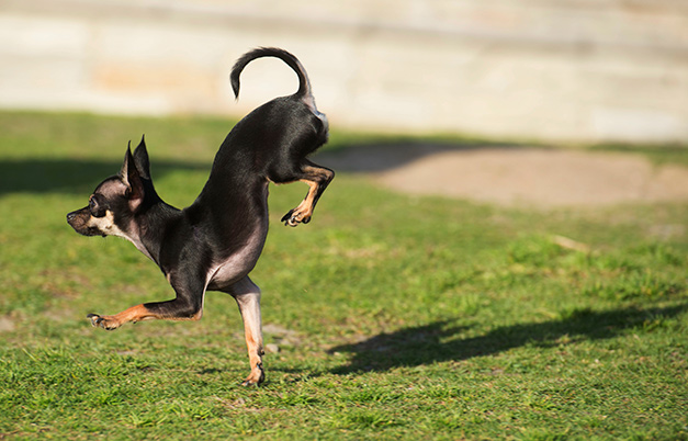 Fastest 5 metres on front paws by a dog