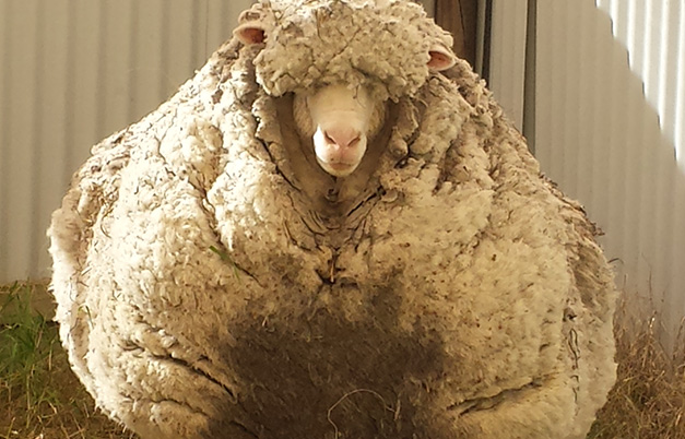 Most wool sheared from a sheep - single shearing